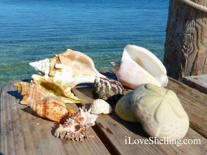 caribbean shells from bahamas