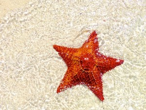 cushion sea star starfish bahamascushion sea star starfish bahamas