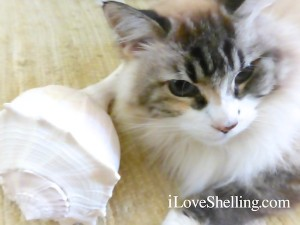 dustie kitty with whelk shell May 2014