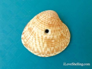 lady-in-waiting venus clam with drill hole