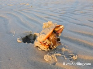live fighting conch in sand