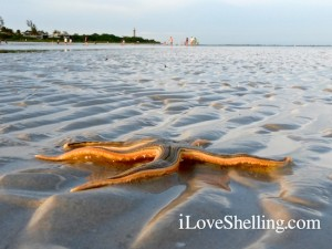 live starfish at sanibel lighthouse beach
