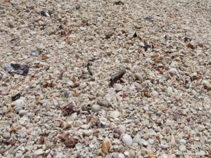 lots of seashells on captiva island florida