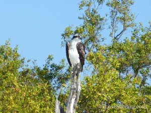 osprey sitting on perch in Sanibel