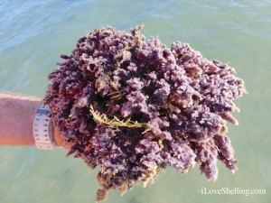purple sea sponge Sanibel