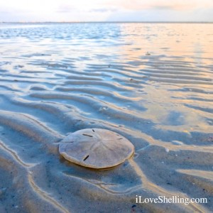 sand dollar at low tide Sanibel Island