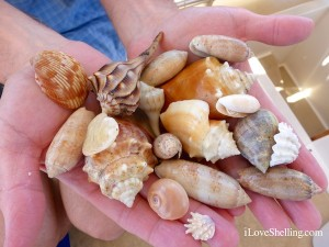 sea shells collected in south west florida