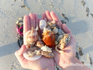 seashells found on Sanibel Island by Leah