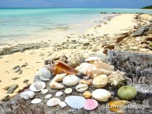 seashells of the bahama islands