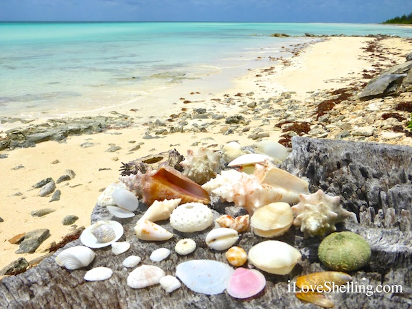 seashells of the bahama islands
