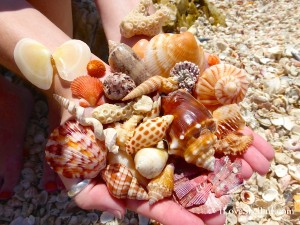 shells and coral of captiva