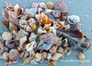 shells on Sanibel lighthouse sandy beach