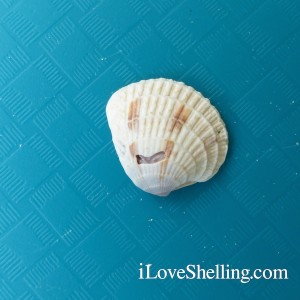 smiley face seashell