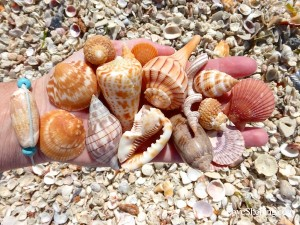 some of the shells i found on captiva island florida