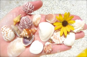Common Sanibel shells