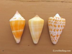 Florida Cone Gold-Banded Cone Alphabet Cone