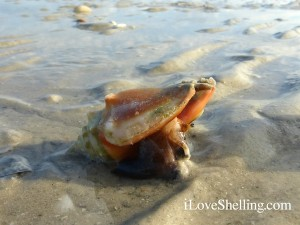 Live fighting conch seashell on Sanibel Island Florida