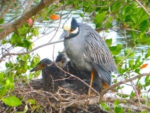 Sanibel Night Heron with babies