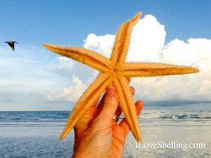 Sanibel sea star showing its tube feet