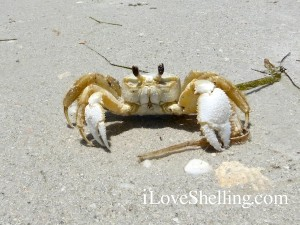 casper the friendly ghost crab hiding in shadow
