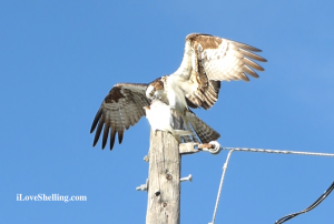 osprey eating a pompano
