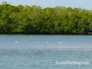 roseate spoonbill with ibis sighting