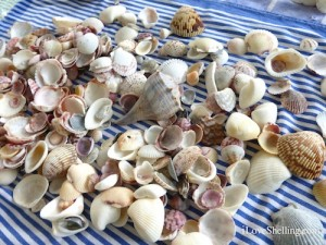 sea shells collected on Sanibel on blue stripes
