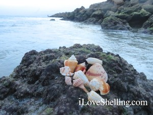 sea shells found in the channel at Blind Pass Captiva Island
