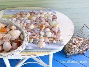 seashells collected on Sanibel and Captiva