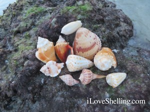 shells found at Blind Pass Captiva June