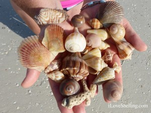 shells found on iLoveShelling shelling adventure cruiseshells found on iLoveShelling shelling adventure cruise