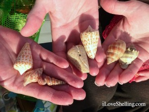 shells found on sight sea-r shelling cruise
