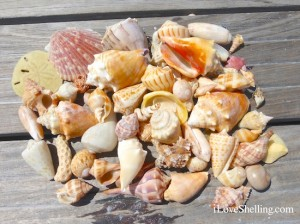 shells from south islands of lovers key