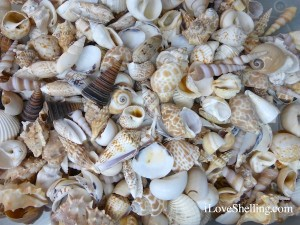store bought sea shells from indopacific