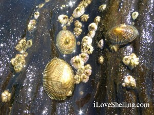 striped false limpets on fallen tree