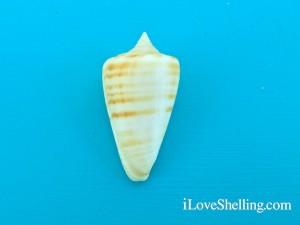 true gold banded alphabet cone Conus spurius atlanticus