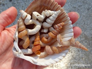 worm shells found on shelling cruise