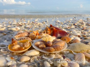 Beautiful sea shells on a Sanibel beach