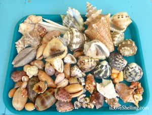 Caribbean shells collected in Gtmo Gitmo Guantanamo Cuba