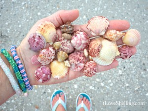 Collecting colorful Sanibel seashells