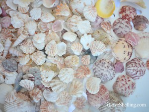 Common Sanibel kittens paws and calico scallops