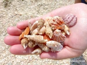 Hannahs Captiva Shells