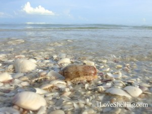 Live olive mollusk shell on Sanibel