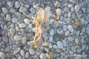 Lucky crucifix shell on the beach of Sanibel Island Florida