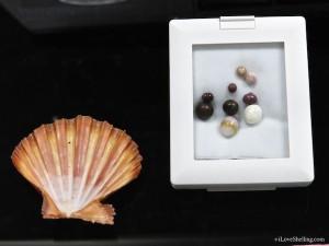 Nodipecten subnodosus Lions Paw Pearls