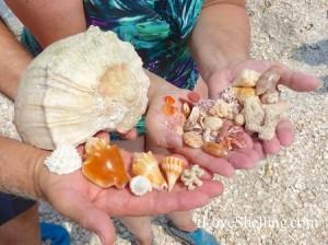 Shells found on Captiva Island July 2014