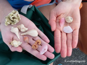 favorite shells on a Florida west coast shelling adventure