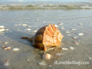 lightning whelk shell sanibel