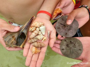 live whelk and other shells of Sanibel