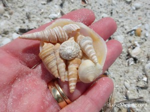 worm shells button and pear whelk on sandy hand